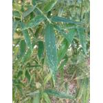 Phyllostachys viridis (R.A.Young) McClure
