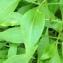 Pierre Bonnet - Centranthus ruber (L.) DC. [1805]