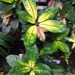 Photographie n°189279 du taxon Codiaeum variegatum (L.) Rumph. ex A.Juss.