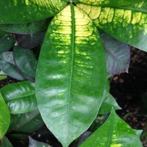 Photographie n°189285 du taxon Codiaeum variegatum (L.) Rumph. ex A.Juss.