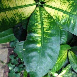 Photographie n°189286 du taxon Codiaeum variegatum (L.) Rumph. ex A.Juss.