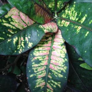 - Codiaeum variegatum (L.) Rumph. ex A.Juss.