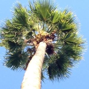 Washingtonia robusta H.Wendl. (Palmier du Mexique)