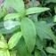 Pierre Bonnet - Saponaria officinalis L. [1753]