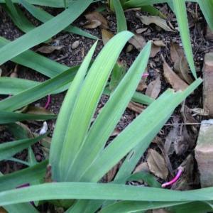 - Iris germanica L. [1753]