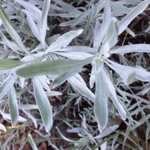 Photographie n°189530 du taxon Lavandula latifolia Medik.