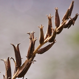 Photographie n°189557 du taxon Oenothera biennis L. [1753]