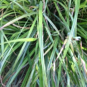 Photographie n°189669 du taxon Carex pendula Huds.