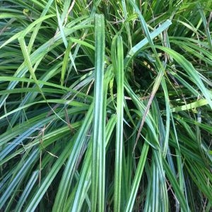 Photographie n°189670 du taxon Carex pendula Huds.
