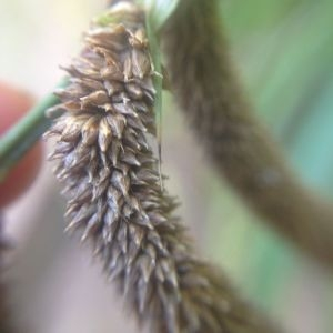 Photographie n°189678 du taxon Carex pendula Huds.