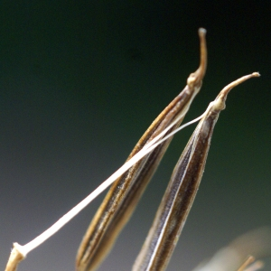 - Chaerophyllum villarsii W.D.J.Koch