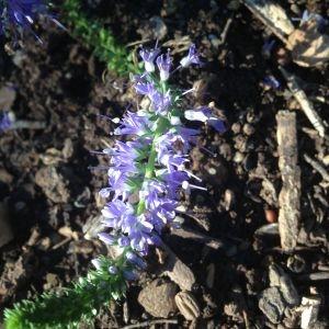 Photographie n°189778 du taxon Veronica longifolia L. [1753]