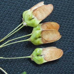 Photographie n°189844 du taxon Acer monspessulanum L. [1753]