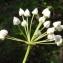 Liliane Roubaudi - Allium neapolitanum Cirillo
