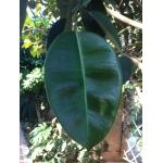 Ficus elastica Roxb. [1814]