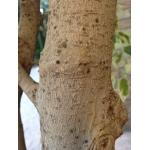 Ficus benjamina L. (Figuier pleureur)
