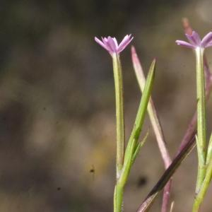 Photographie n°190053 du taxon Velezia rigida L. [1753]