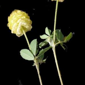 Photographie n°190059 du taxon Trifolium campestre Schreb. [1804]