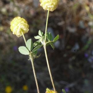 Photographie n°190060 du taxon Trifolium campestre Schreb. [1804]