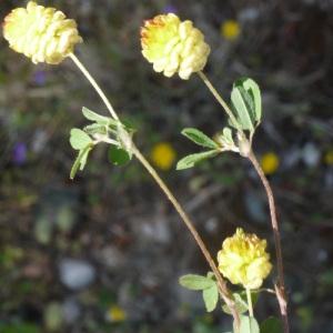 Photographie n°190061 du taxon Trifolium campestre Schreb. [1804]