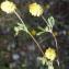 Liliane Roubaudi - Trifolium campestre Schreb. [1804]