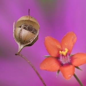 Anagallis arvensis L. (Mouron des champs)