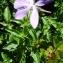 Alain Bigou - Viola cornuta L. [1763]