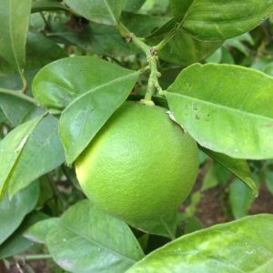 Photographie n°190484 du taxon Citrus sinensis (L.) Osbeck [1757]