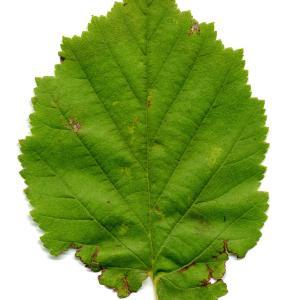 Photographie n°190720 du taxon Corylus colurna L.