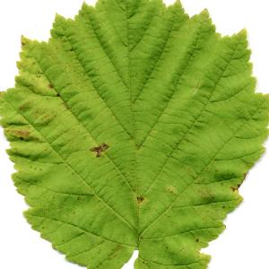 Photographie n°190722 du taxon Corylus colurna L.