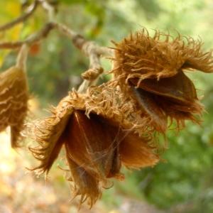 Photographie n°190758 du taxon Fagus sylvatica L.