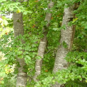 Photographie n°190760 du taxon Fagus sylvatica L.