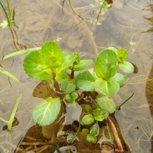 Photographie n°190814 du taxon Veronica beccabunga