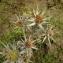 Florent Beck - Eryngium bourgatii