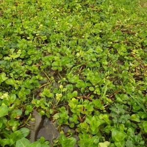 Photographie n°190845 du taxon Veronica beccabunga