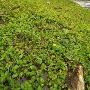 Photographie n°190847 du taxon Veronica beccabunga