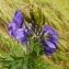Florent Beck - Aconitum napellus