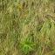 Florent Beck - Aconitum lycoctonum subsp. neapolitanum (Ten.) Nyman [1878]