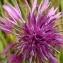 Florent Beck - Centaurea scabiosa L. [1753]