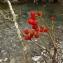Florent Beck - Sorbus aucuparia
