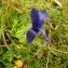 Florent Beck - Gentiana ciliata L. [1753]