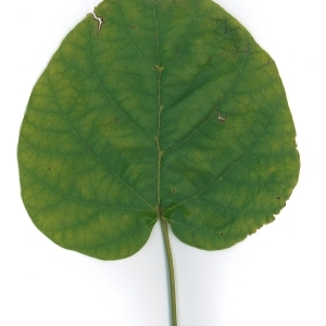 Photographie n°191056 du taxon Catalpa bignonioides Walter [1788]