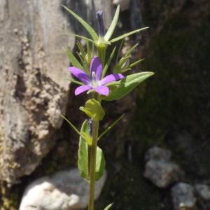- Legousia falcata x Legousia falcata subsp. castellana