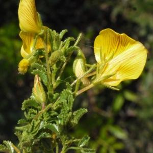 - Ononis viscosa L. [1753]