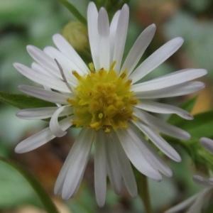 Symphyotrichum x salignum (Willd.) G.L.Nesom (Aster à feuilles de saule)