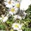 Jean-Claude Echardour - Symphyotrichum x salignum (Willd.) G.L.Nesom [1995]