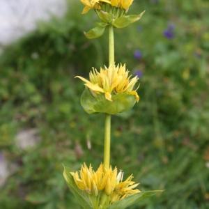 Gentiana lutea L. subsp. lutea (Gentiane jaune)
