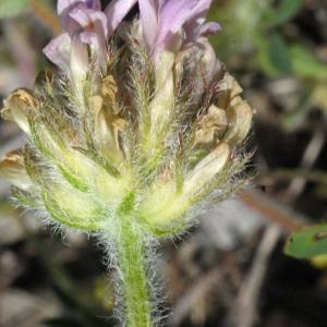 Photographie n°191299 du taxon Astragalus echinatus Murray
