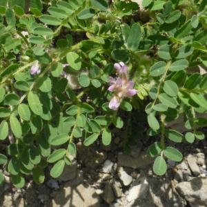 Photographie n°191304 du taxon Astragalus echinatus Murray