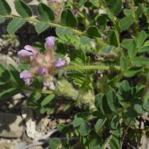 Photographie n°191307 du taxon Astragalus echinatus Murray